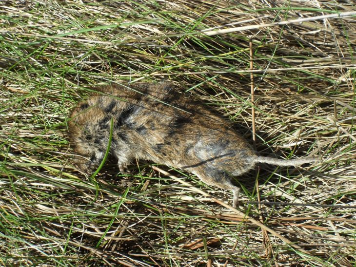 Dead Field Vole at Bogside Flats