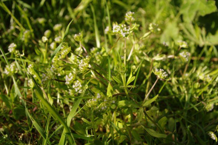 Valerianella locusta, Powfoot ©Chris Miles