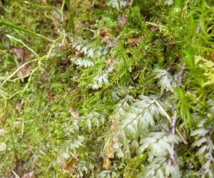 Wilson's Filmy Fern Hymenophyllum wilsonii ©David Hawker