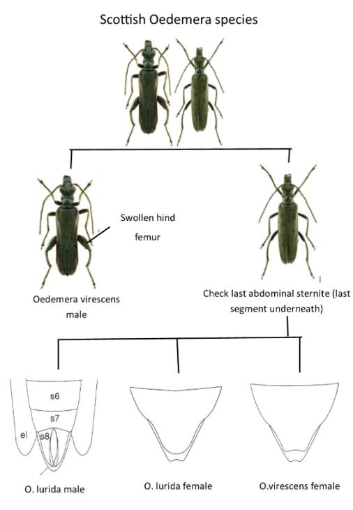 Separating Oedemera viridis and lurida